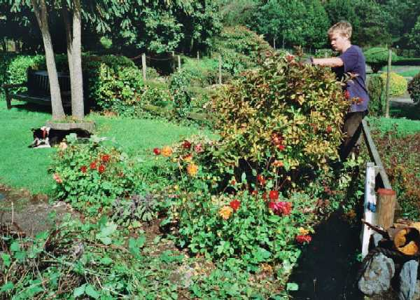 Pruning the roses